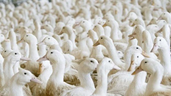 Progrès génétique en canards Pékin : entre précocité, performance et viabilité