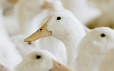 How should you prepare for the arrival of Pekin ducks at your farm?